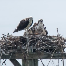 Osprey family at their Chesapeake home