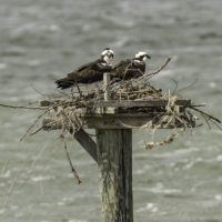 Windblown ospreys on nest #1.